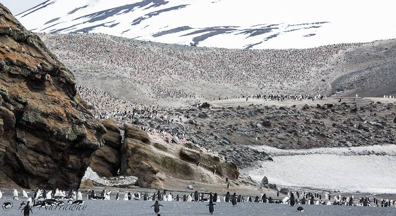 Chinstrap penguin rookery at Bailey Head, Deception Island. Photo: Lee Narraway / Students on Ice