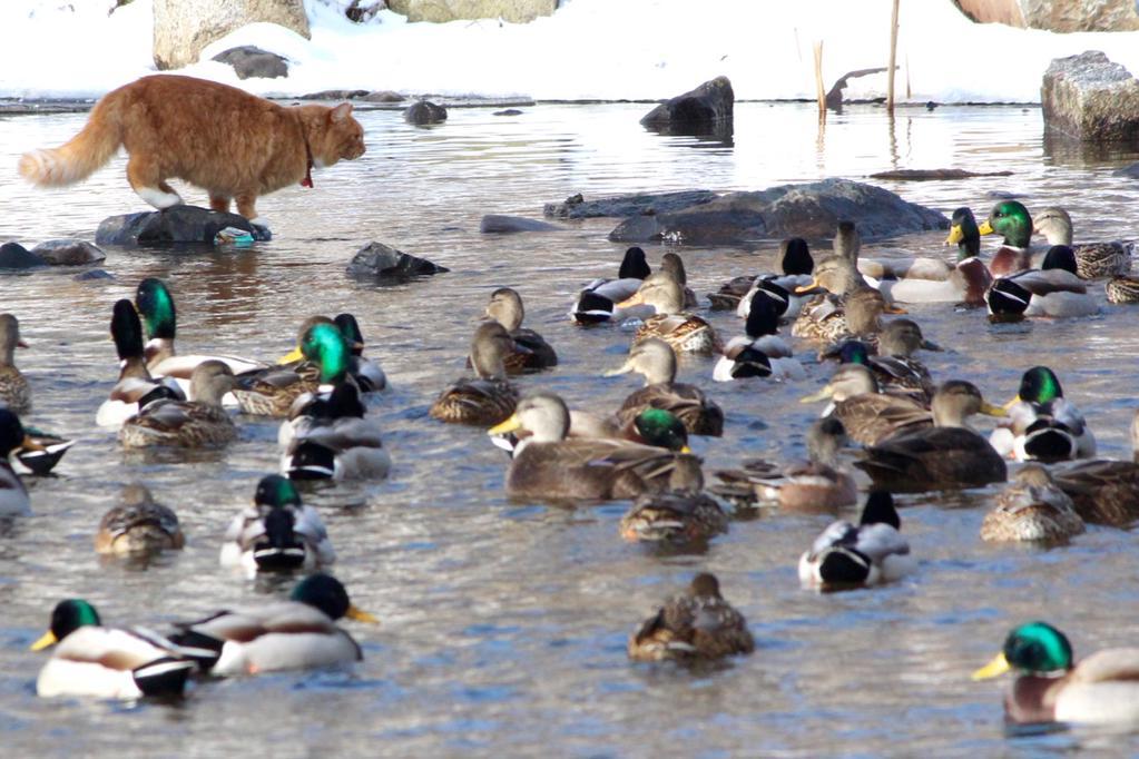 duck-cat