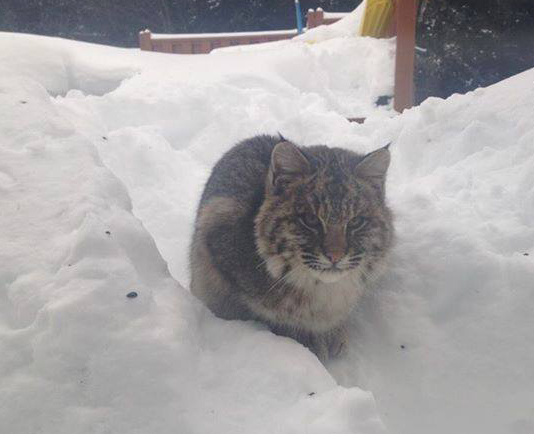 This starving bobcat approached a home in Amherst. Photo: Eric Sears / Cumberland News
