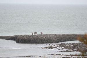A family of deer were apparently stranded on Dunn's Rock. Photo: Karen Morley via the Annapolis Spectator