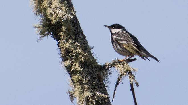 The blackpoll warbler. Photo: Acadia University biology professor Phil Taylor, via the Chronicle Herald