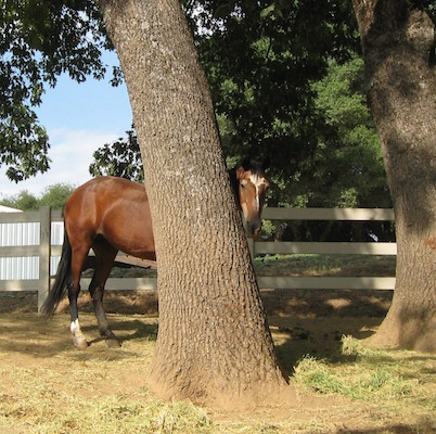 It's hard to know how many horses are hiding behind this tree. Photo: horsecollaborative.com