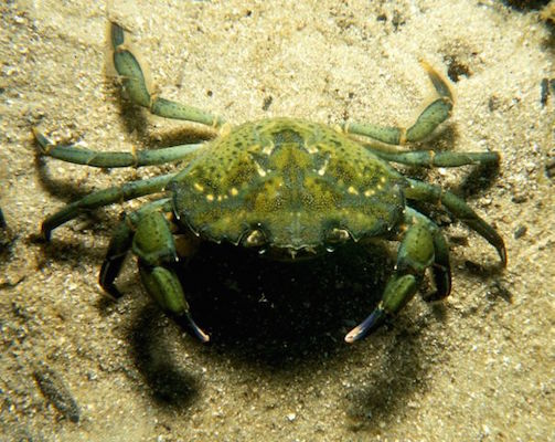Green-Crab