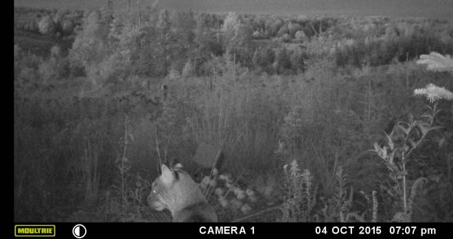 A cam set up by Brookfield resident Jill Tremblay took this photo last year. She thinks it's a cougar; others say a bobcat.