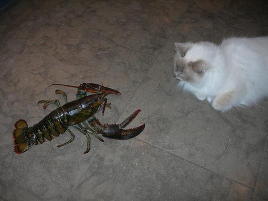 5-cat-vs-lobster