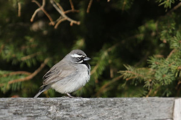 A Black-Throated Sparrow, photographed on April 26th, in Aulac, New Brunswick. Photo: Charles Gaudet/ Birding New Brunswick