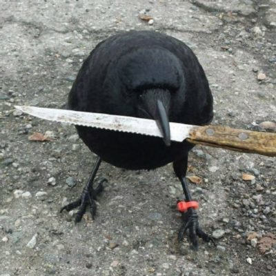 Former City Councillor Sue Uteck, as represented by this crow, has her sights set on the bright shiny object that is Waye Mason.