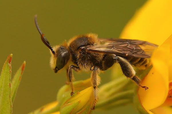The Macropis cuckoo bee is an endangered species in Nova Scotia. Photo: northernhoot.com