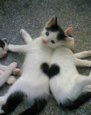 hey-two-black-and-white-cats-make-a-heart-it-is-sooooooooooooo-cuuute-cats-animals-heart-pets-adorable-kittens-things-valentine-kitty