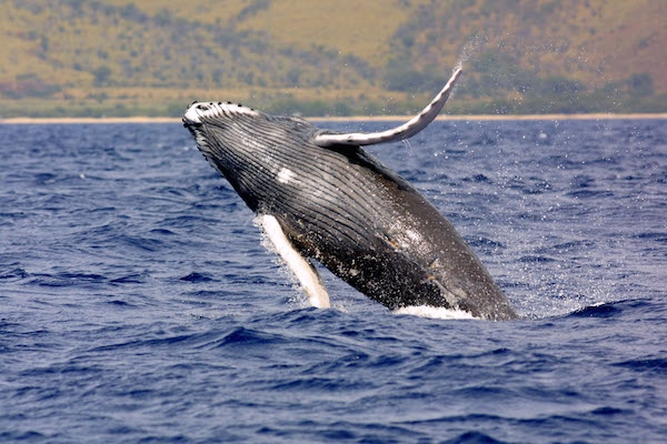 A humpback whale is entangled in fishing gear. Photo: Wikipedia
