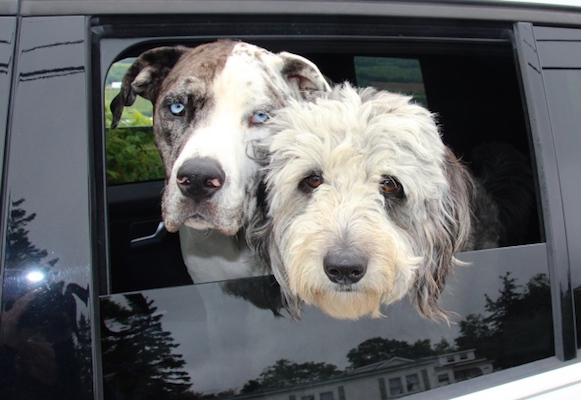 Erin Handspiker's dogs: Millie (left) and Sadie (the other one).Photo: Erin Handspiker