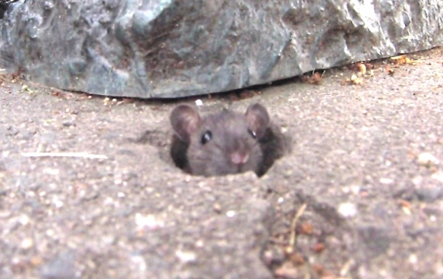 A rat doesn't see his shadow, so we'll have six more weeks of rat infestation in downtown Halifax. Photo: Steve Berry/CBC