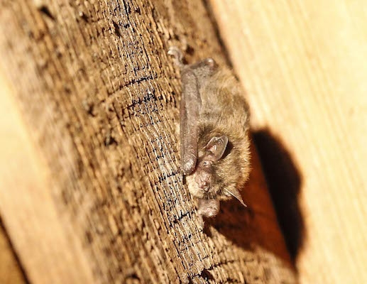 A maternity colony of about 300 female bats has been found in Nova Scotia. Photo : Communications Nova Scotia