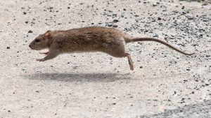 A rat scurries near the old library on Spring Garden Road in Halifax. Jeff Harper, Metro.
