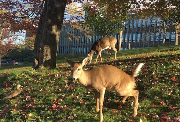 A deer peeing on the lawn at the Mount while a duck watches. Photo credit, such as it is, goes to El Jones