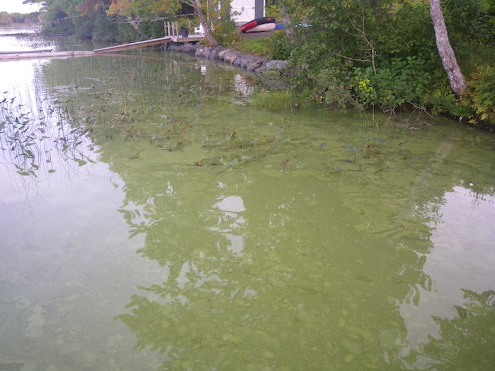 Could glyphosate have contributed to this? Toxic algal bloom in Mattatall Lake. Photo courtesy Norris Whiston.