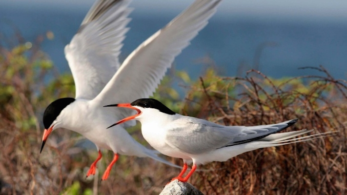 Roseate terns. Photo: US Fish and Wildlife Service via the CBC