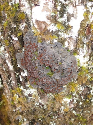 "Blue felt lichen, another ""vulnerable"" species in Nova Scotia. Photo courtesy Linda Pannozzo."