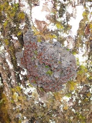 "Blue felt lichen, another ""vulnerable"" species in Nova Scotia. Photo courtesy Linda Pannozzo."