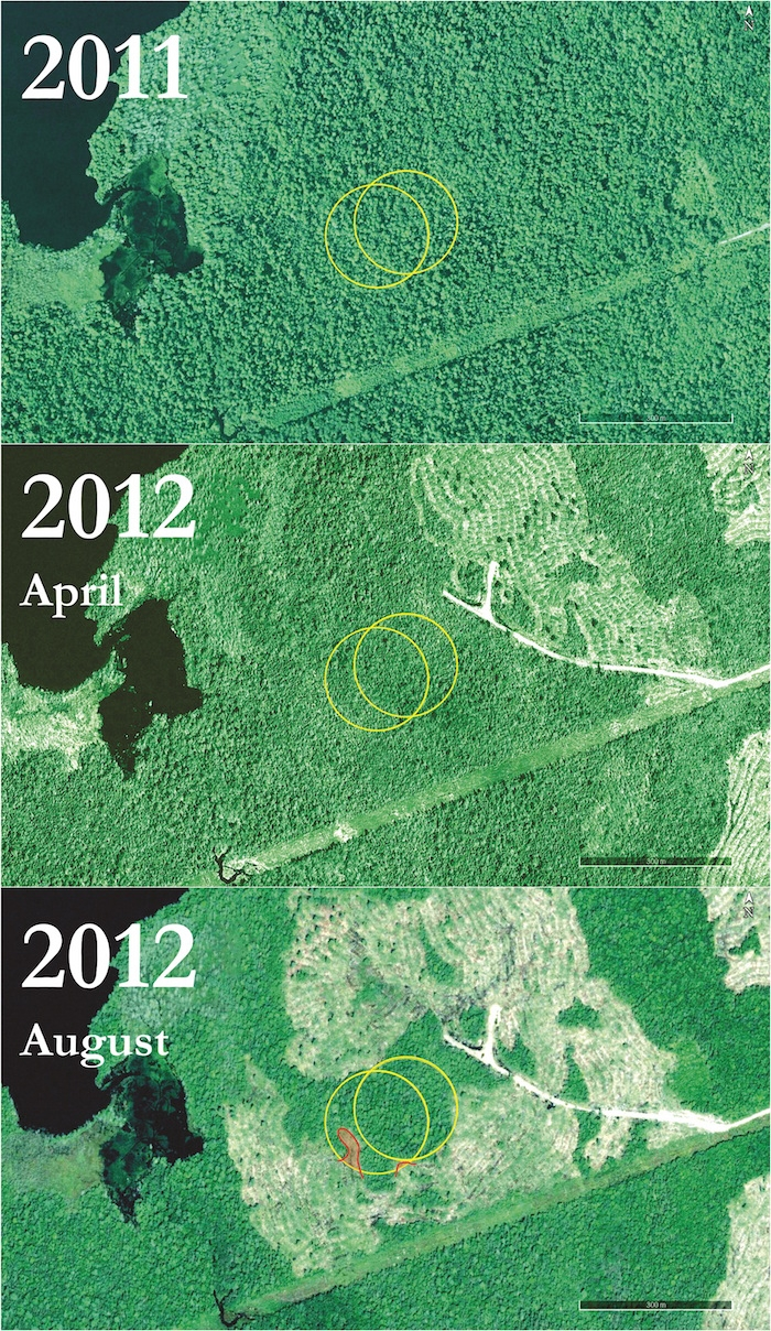 This series of photos shows an area in Shelburne County before, during, and after a clearcut adjacent to boreal felt lichen sites. There are two (100m) buffer zones (in yellow) with boreal felt lichen at the centre of each. The lichen was lost from the location to the west, where the buffer was partially harvested (in red). Boreal felt lichen data courtesy MTRI. All images are publicly available from Google Earth Pro (© 2016 DigitalGlobe and © 2016 Province of Nova Scotia) or ESRI ArcGIS Online's World Imagery layer (© 2016 DigitalGlobe).