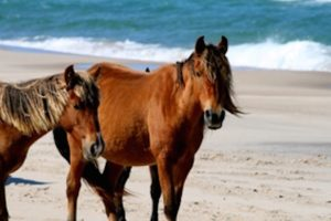 A photo of two horses, or maybe they're ponies, on Sable island. They're looking at the camera, and both are a sienna colour, but one has a dark brown mane and one a blonder version. Behind them you can see the beige sand and dark blue ocean, with small white waves crashing.