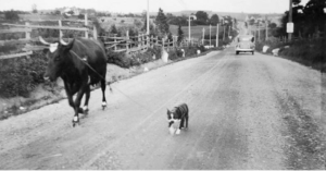Dog leading a cow.
