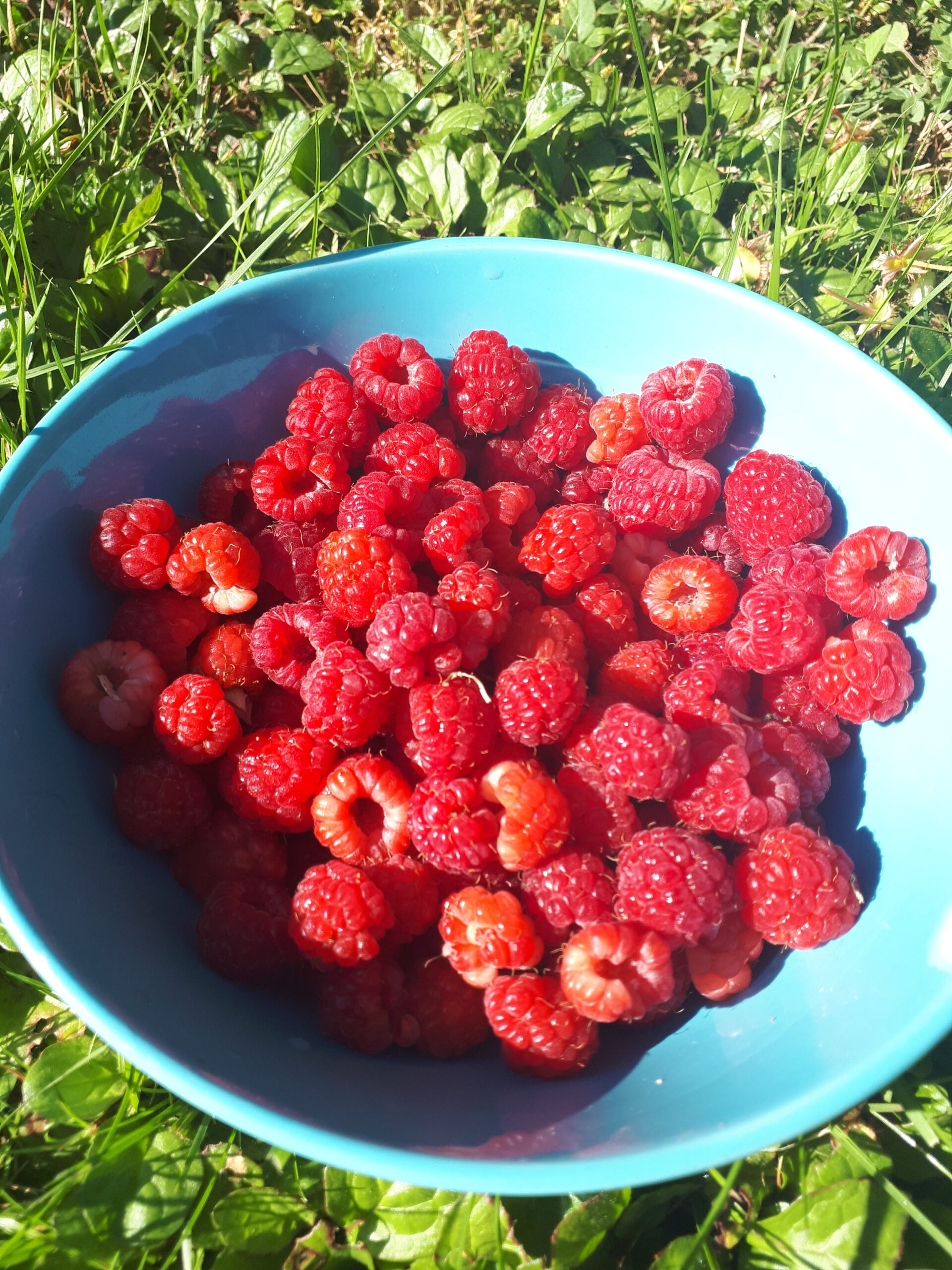 Bowl with freshly picked raspberries