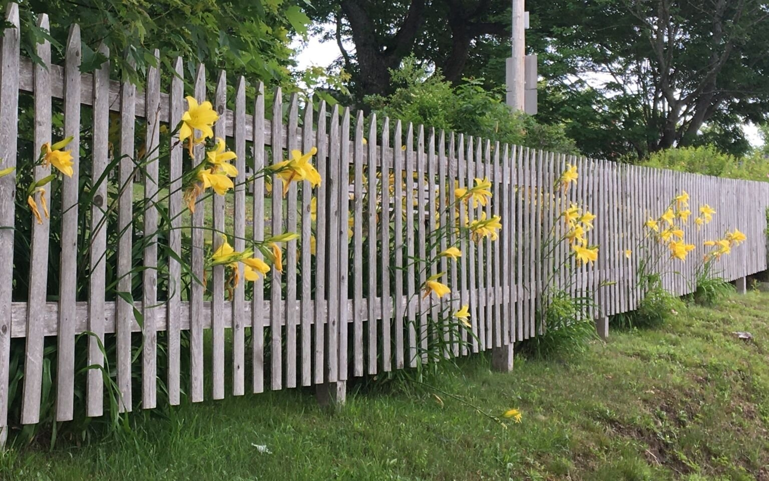Flowers growing through a fence.