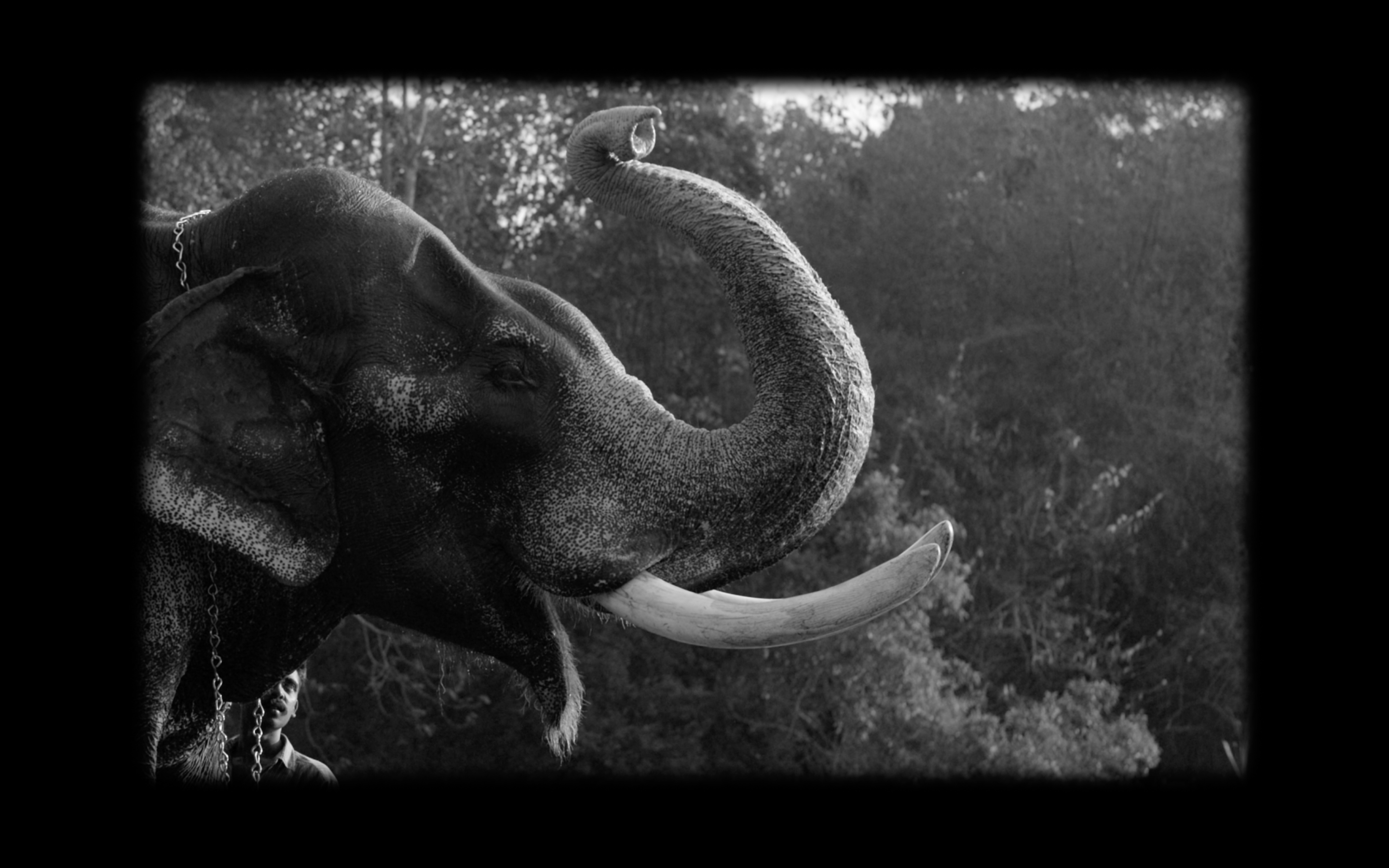 Black and white image of an elephant with its trunk in the air and a man standing beside it.