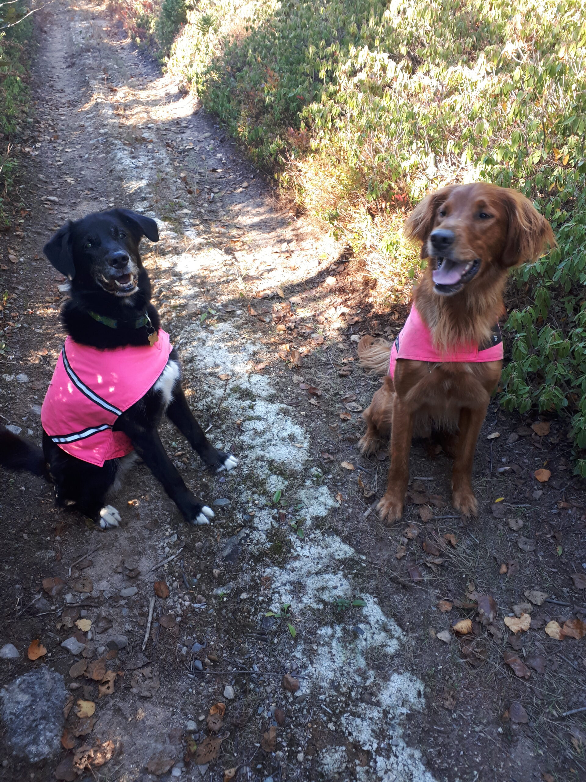 Two dogs sitting in the woods, wearing high-viz vests.