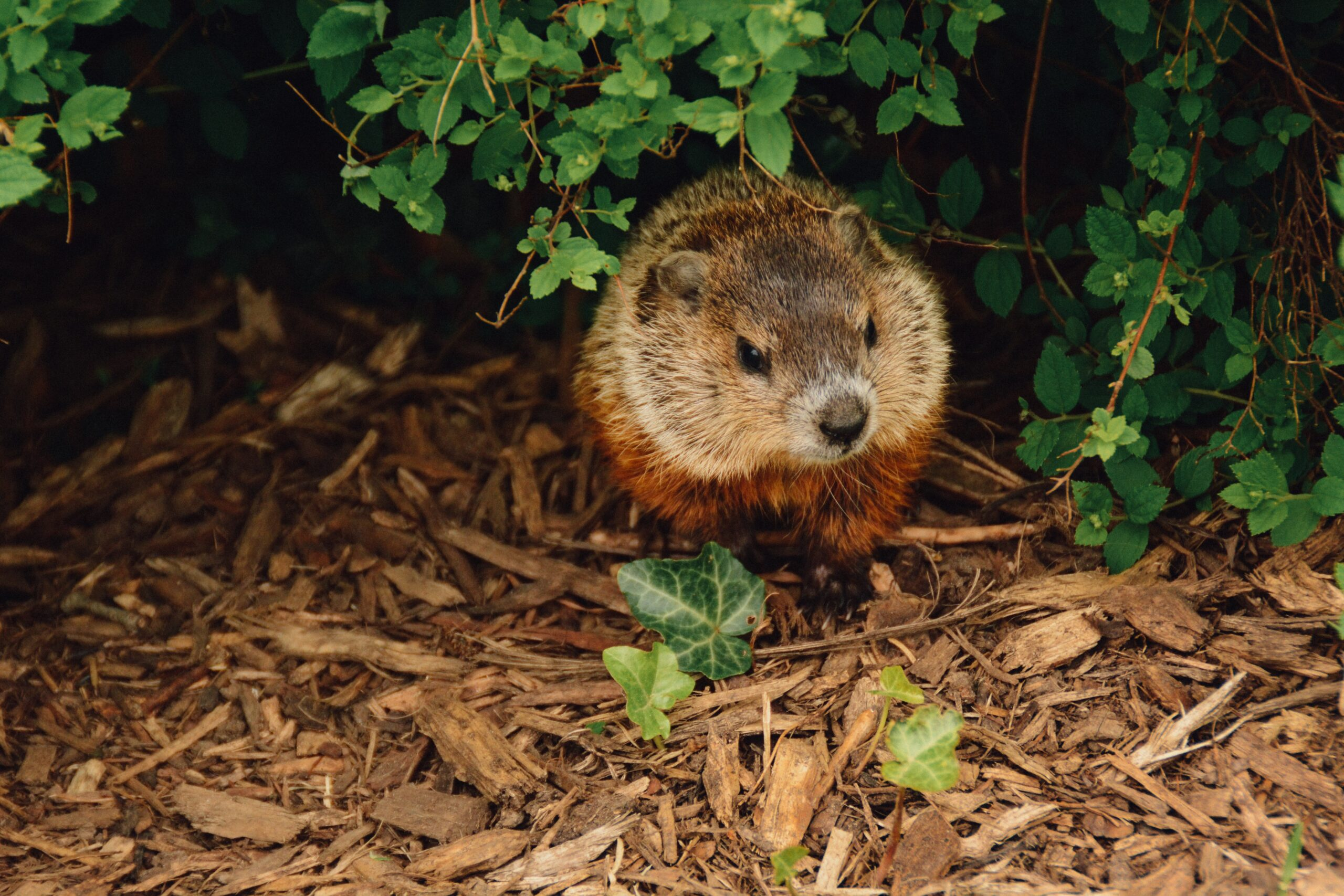 Groundhog in the woods.