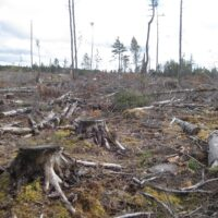 Photo of the devastation left behind after a clearcut. There are stumps of large trees, burned from the heat of the chainsaws, and crushed trees for a mile. Only a few denuded conifers and spindly trunks are left standing, bereft.