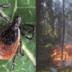 Two photos: a tick and a burning forest