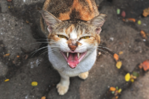 A very angry tortoise-shell coloured cat.