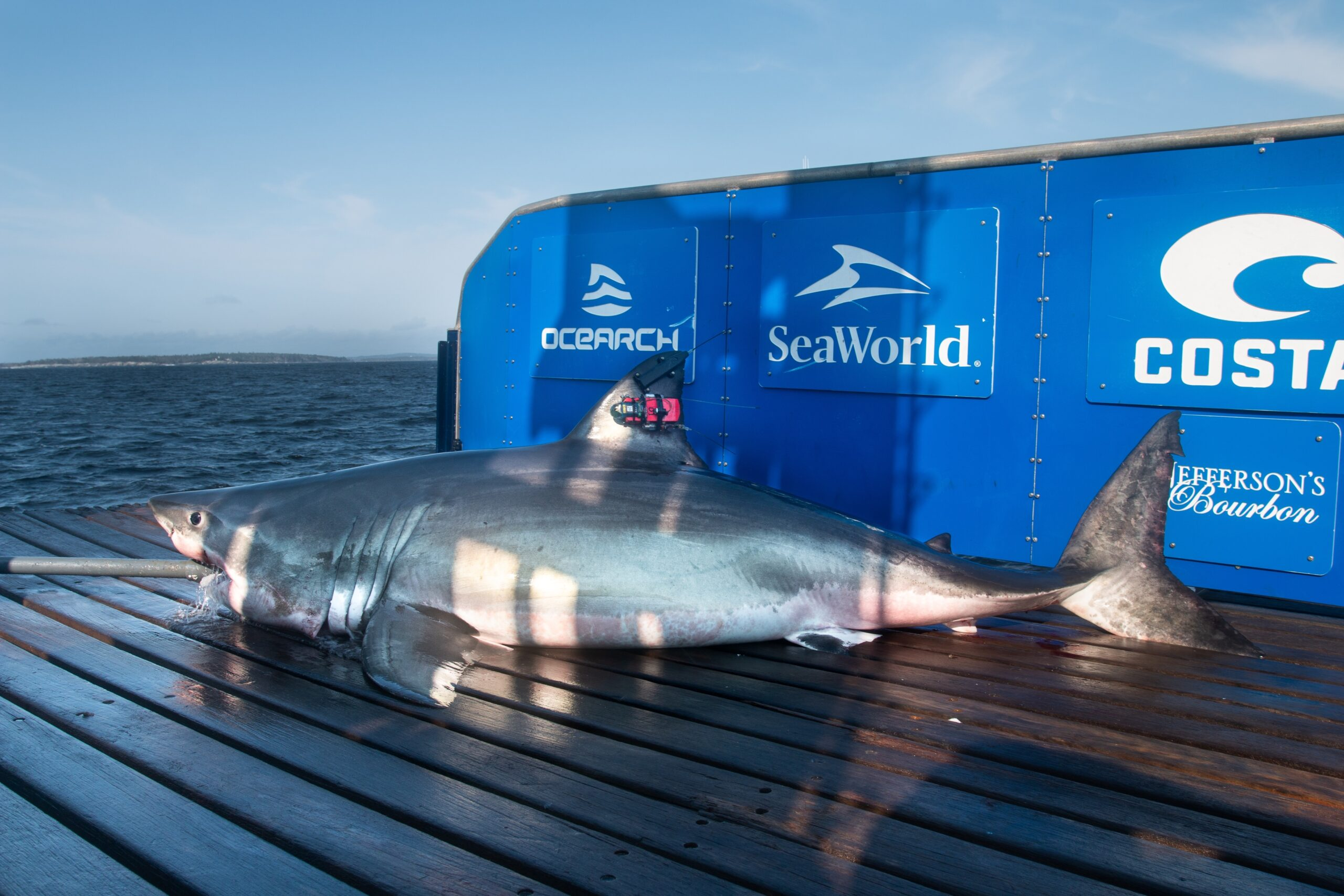 """A tweet that says Meet Hali, a juvenile female #whiteshark we met this morning off of W Ironbound Island. She's 10'2"""" & weighs approx 697lbs. She was named by our partners at @SeaWorld for the people of Halifax, #NovaScotia."""
